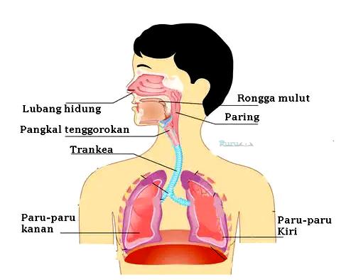 Bentuk-Organ-Pernapasan
