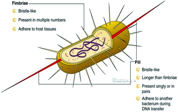 Contoh-Bentuk-Bakteri