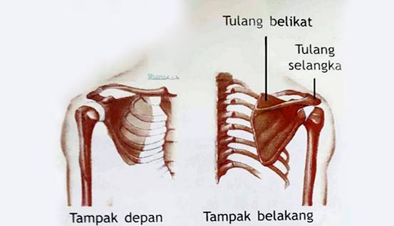 Contoh-Tulang-Belikat