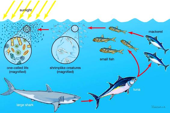Rantai Makanan Ekosistem Laut Beserta Pengertian Secara Lengkap