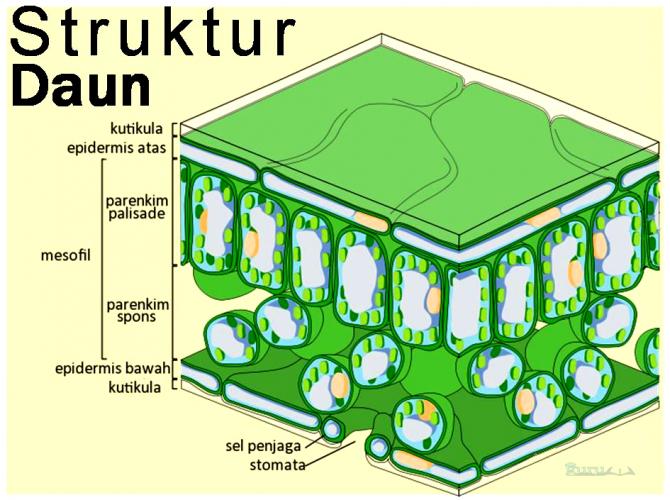 Struktur-Daun