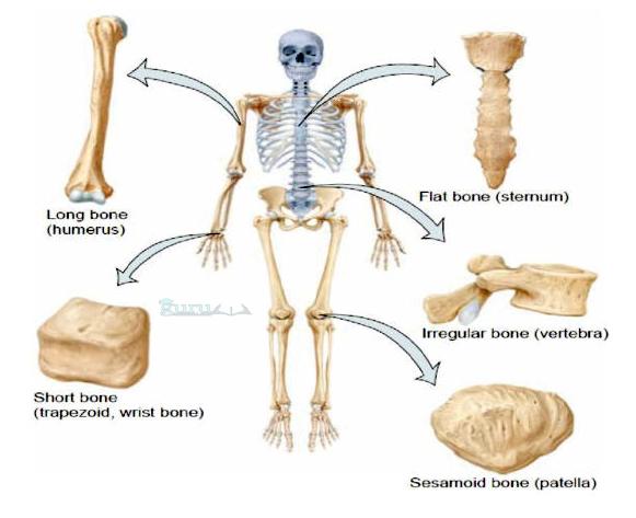 Bentuk-tulang-manusia