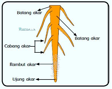 Contoh-Akar-Tunggang