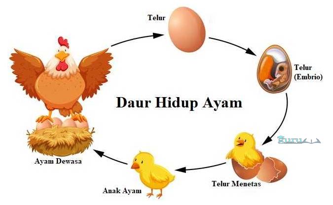 Contoh-Daur-Ulang-Ayam