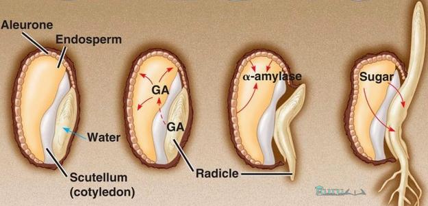 Fungsi-Hormon-Giberelin